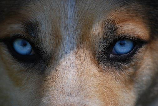 Eyes, Animal, Nature, Dog, Blue, Danger