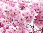 sakura, sky