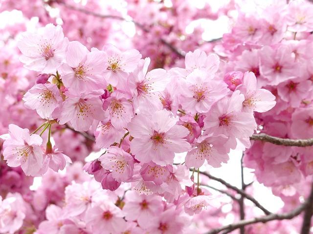 Image Result For Bunga Sakura Wallpaper