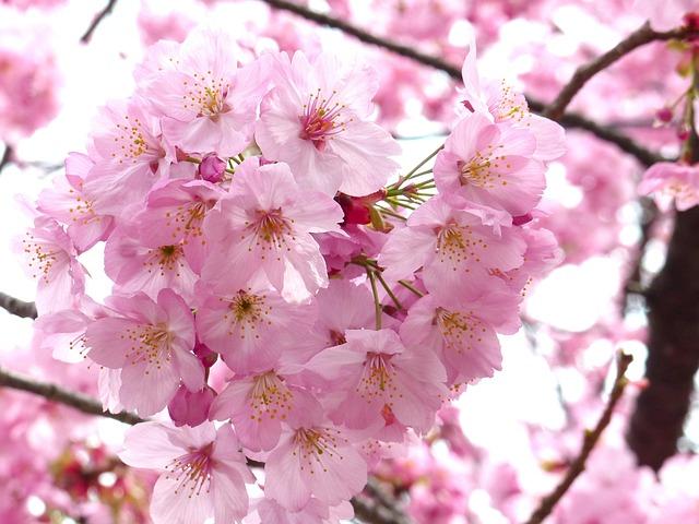 Free Photo Sakura Cheery Blossom Sky Spring Free
