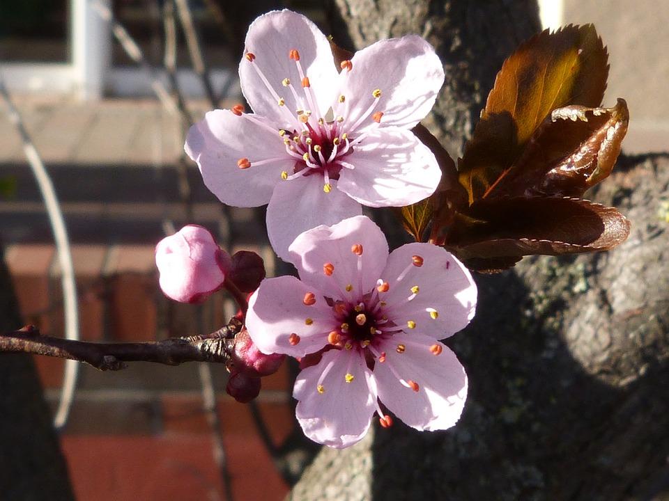 photo gratuite fleur macro fleur de cerisier image gratuite sur pixabay 712510. Black Bedroom Furniture Sets. Home Design Ideas