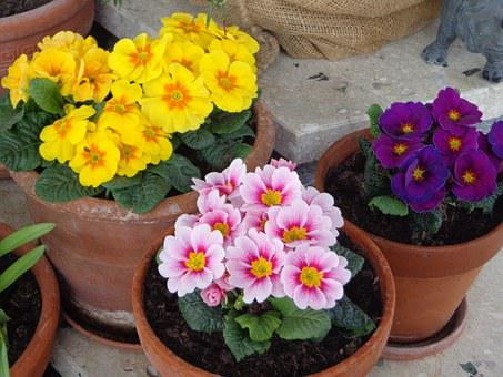 Spring, Primroses, Yellow, Rose, Violet