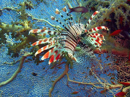 Lionfish, Lion Fish, Red Fire Fish