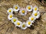 stokrotka, serce, kwiaty