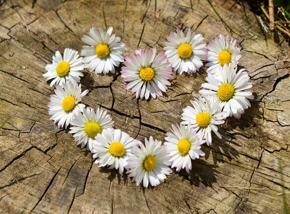 free photo daisy, heart, flowers, flower heart  free image on, Beautiful flower