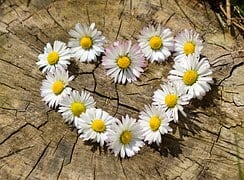 Daisy, Heart, Flowers, Flower Heart