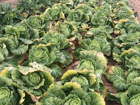 Chinese Cabbage, Green, Vegetables
