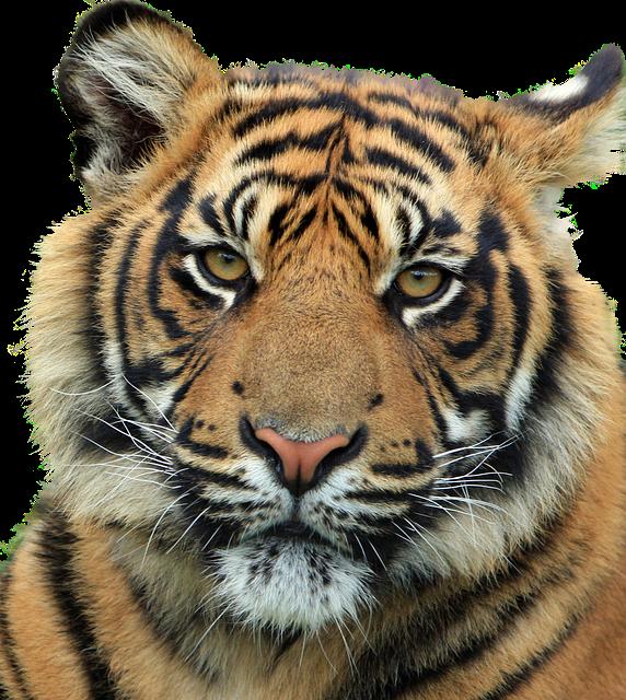 8k Animal Wallpaper Download: Tiger Feline Animal · Free Image On Pixabay