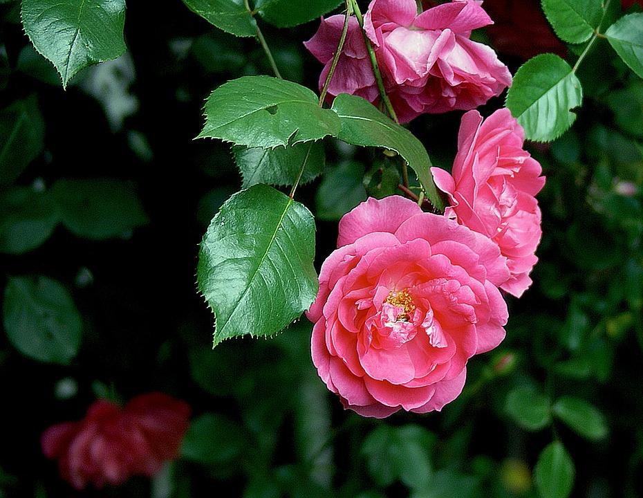 Rose Bunga Mawar Foto Gratis Di Pixabay