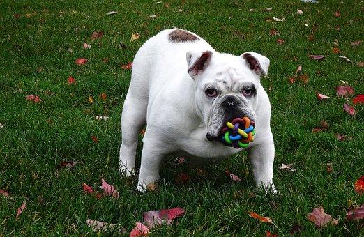 Dog English Bulldog Dog Toy English Bulldo