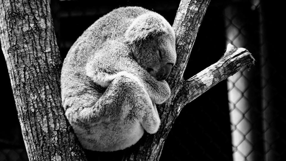 Animales, Koala, Naturaleza