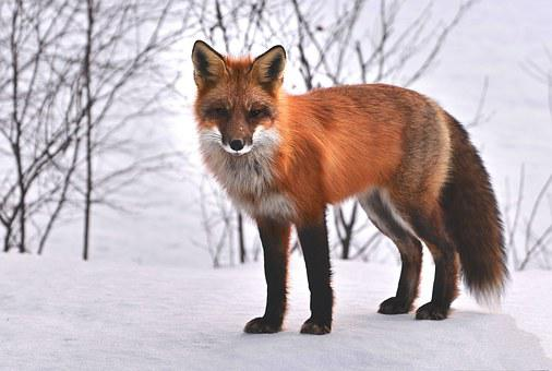 Fox, Nature, Animals, Roux, Fauna