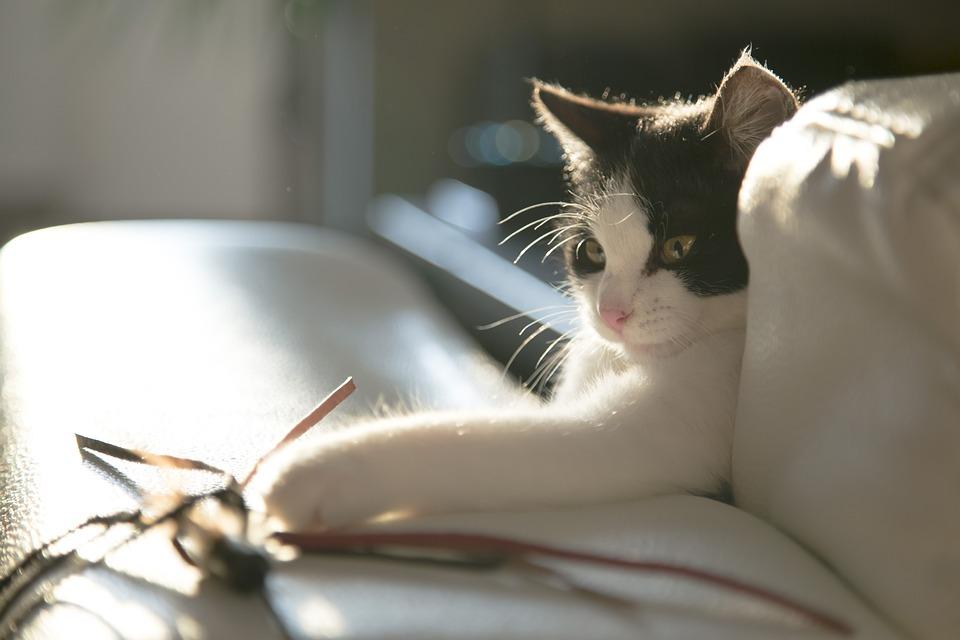 Cat, Kitten, Kitty, Black, White, Play, Toy, Light