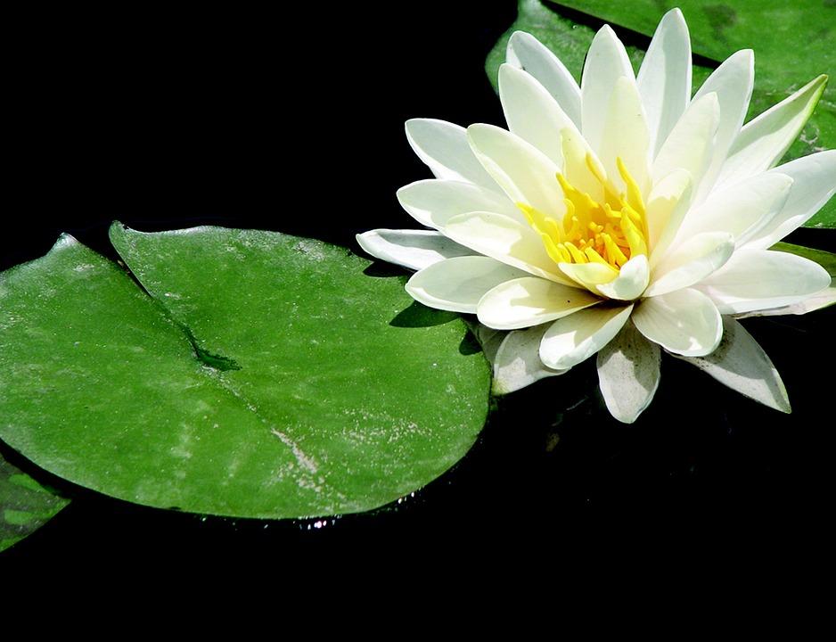 Lotus Zen Meditation Yoga Relaxation Nature