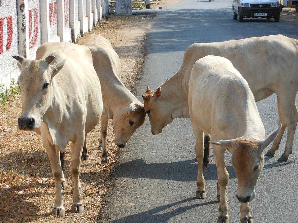 indian cow images hd 1080p
