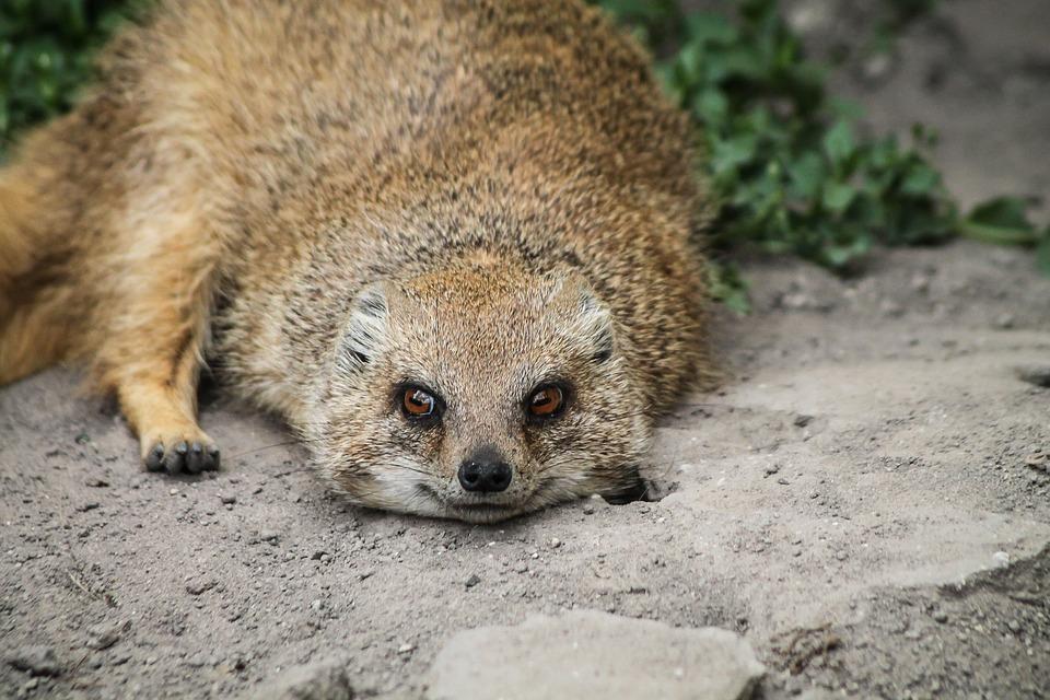 mongoose rókamanguszta smile free photo on pixabay
