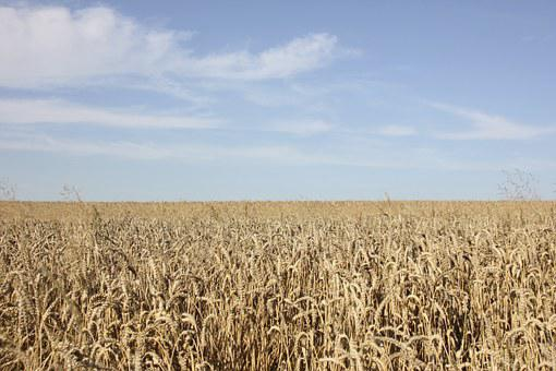 Field, Cereals, Nature, Field Crops