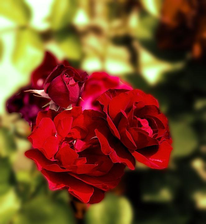 Фото красные розы цветы
