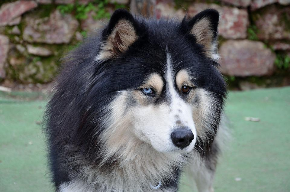Australian Shepherd Dog Pet 183 Free Photo On Pixabay