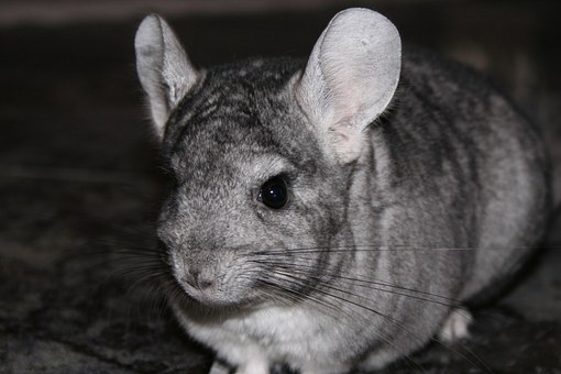 Chinchilla Pet Rodent Chinchilla Chinchill