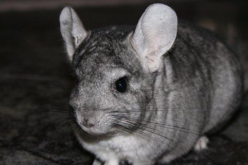 Chinchilla Pet Rodent Chinchilla Chinchill
