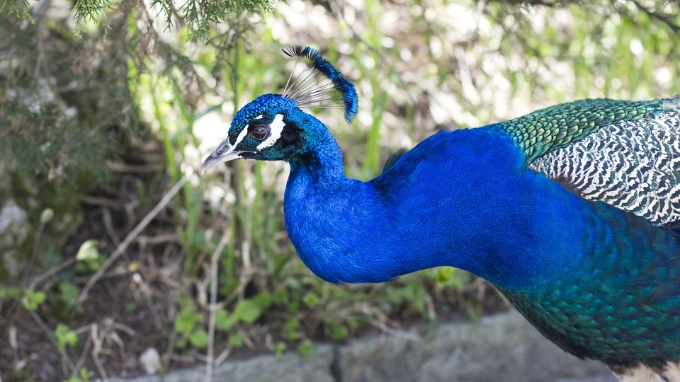 Foto Gratis: Animales, Aves, Peacock, Color