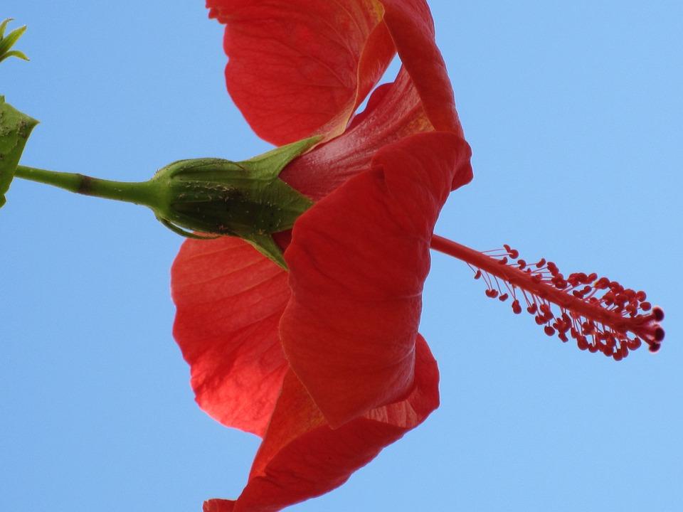 Fleur Tropiques Hibiscus Photo Gratuite Sur Pixabay