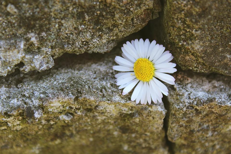 Free Photo Daisy Stone Stone Wall Wall Free Image On