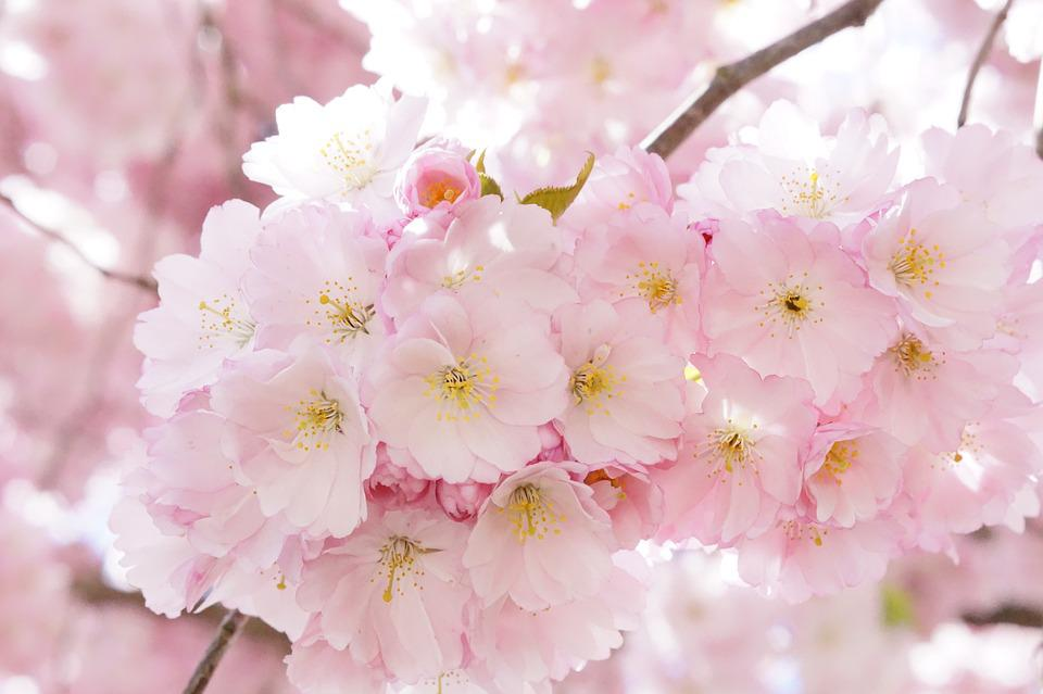 Free Photo Japanese Cherry Trees Free Image On Pixabay