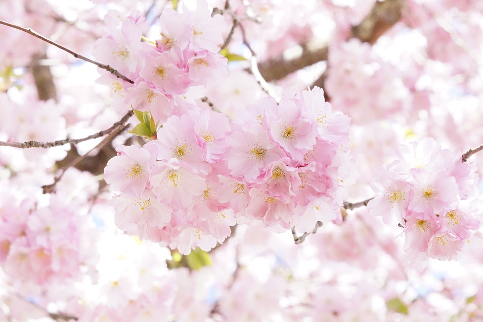 Tree flower bloom free photo on pixabay tree flower tree bloom spring pink cherry blossom mightylinksfo