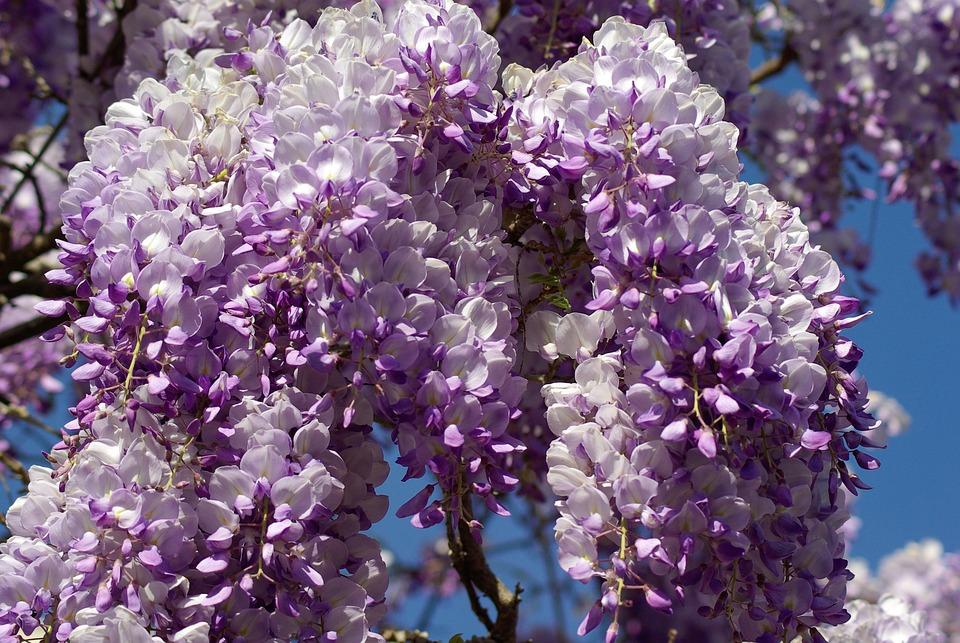 Fleurs mauves printemps - Arbre fleur mauve printemps ...