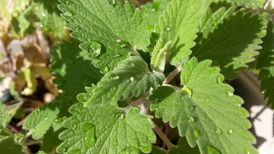 What is Catnip? And What Catnip Herb Benefits?