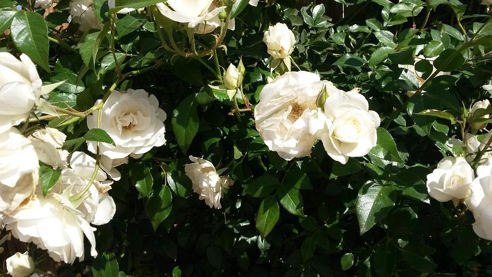 White Garden Rose Bush free photo: white roses, rose bush, garden - free image on pixabay