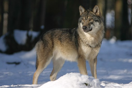 Wolf, Zoo, Canis Lupus, Canine, Mammal