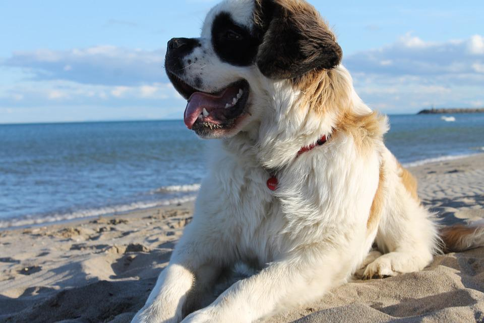 dogs breeds that start with s