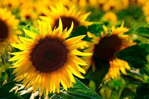 Sun Flower, Back Light, Colorful