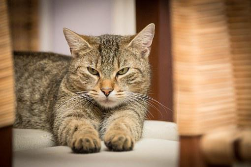Domestic Cat, Cat, Relaxed