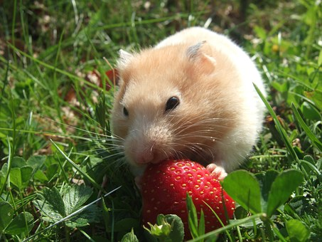 Hamster, Golden, Strawberry, Grass