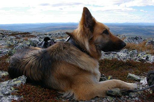 31+ Gambar anjing herder hitam terbaru