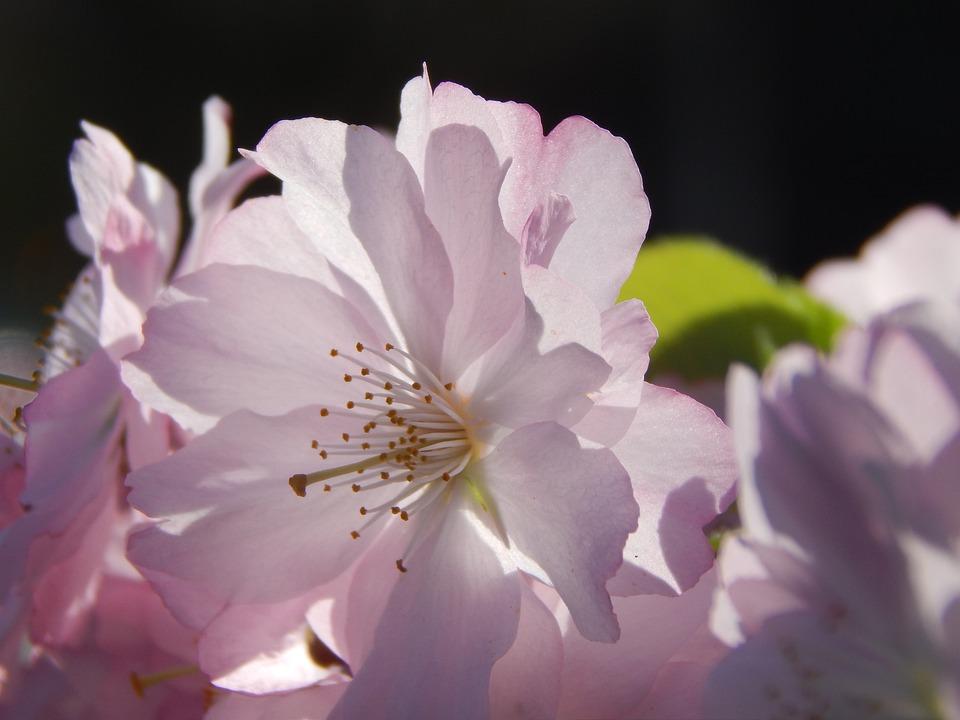 fleur printemps rose macro photo