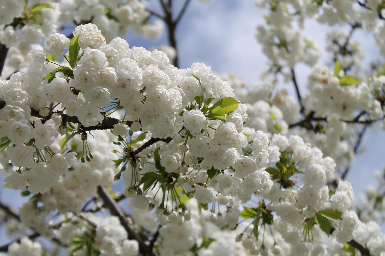 позволяет весна вишня цветет фото продолжение второй части