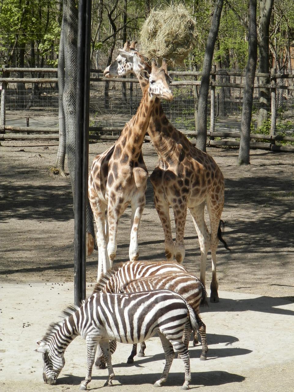 Терьер открытка, картинки жирафов и зебр