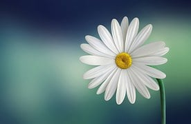 Marguerite, Daisy, Flower, White