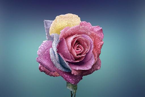 Rose, Flower, Love, Romance, Beautiful