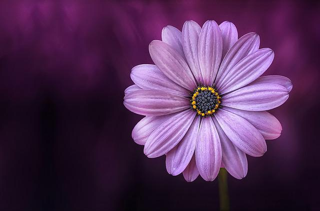 Free Photo: Flower, Purple, Lical, Blosso