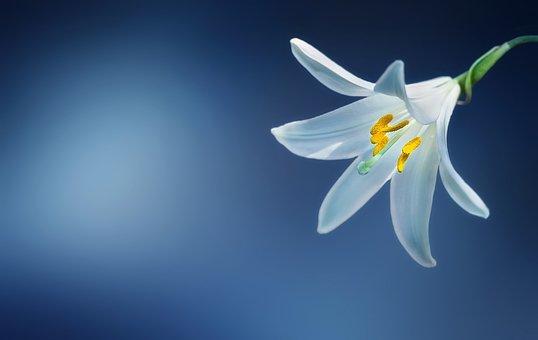Flower, Lily, Lilium Candidum