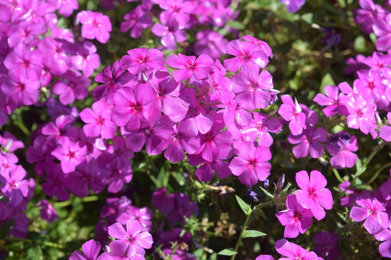 Садовые цветы сиреневого цвета