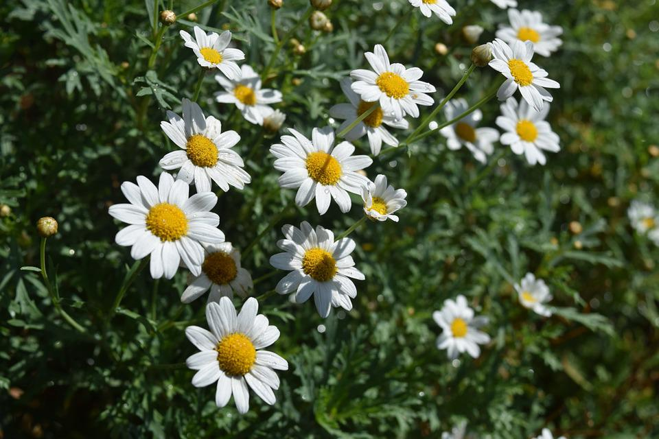 free photo daisy, flowers, white, plant  free image on pixabay, Beautiful flower