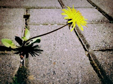 Dandelion, Weed, Flower, Blossom, Bloom