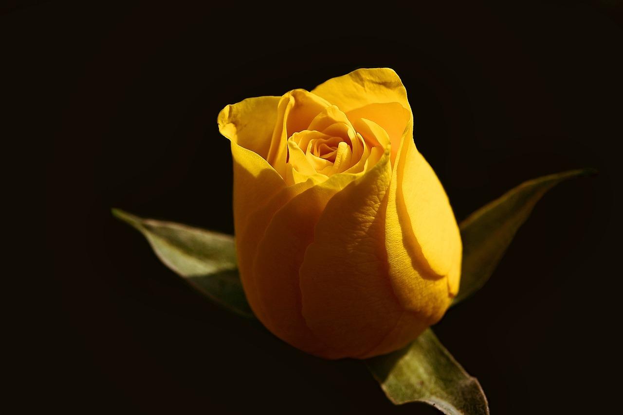 Картинки желтые розы на черном фоне